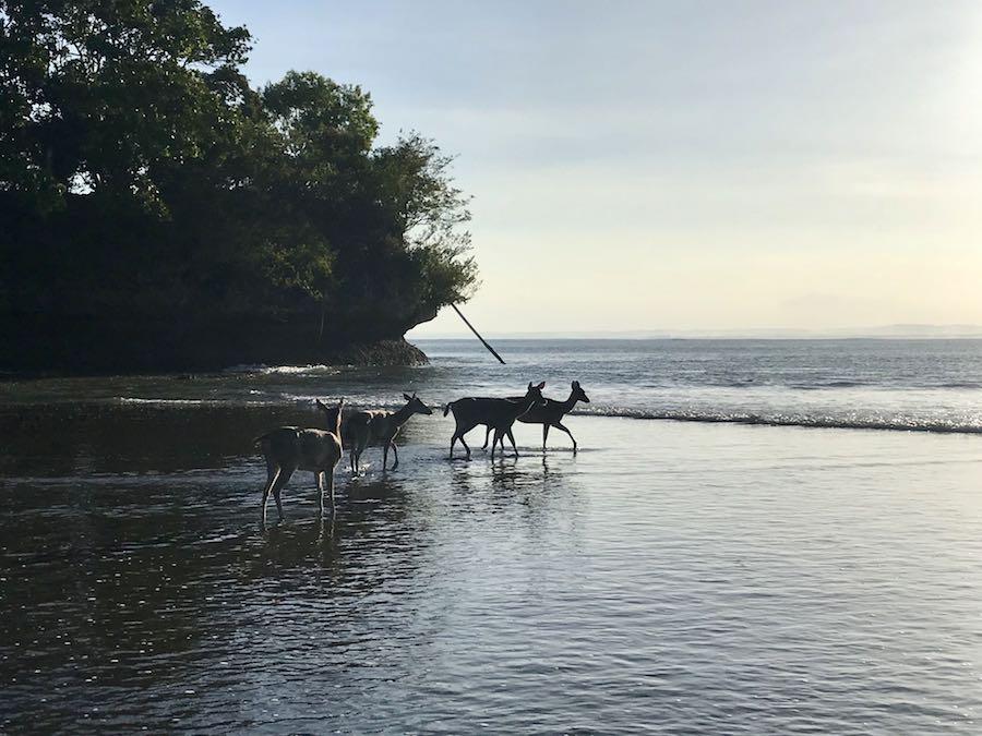 heytheregrace.com | Deer Playing in the Beach at Pantai Pangandaran