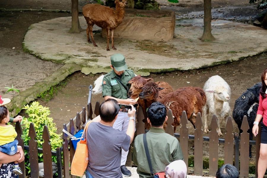 heytheregrace.com | Batu Secret Zoo, Jatim Park 2, Malang - Foto bareng alpaca
