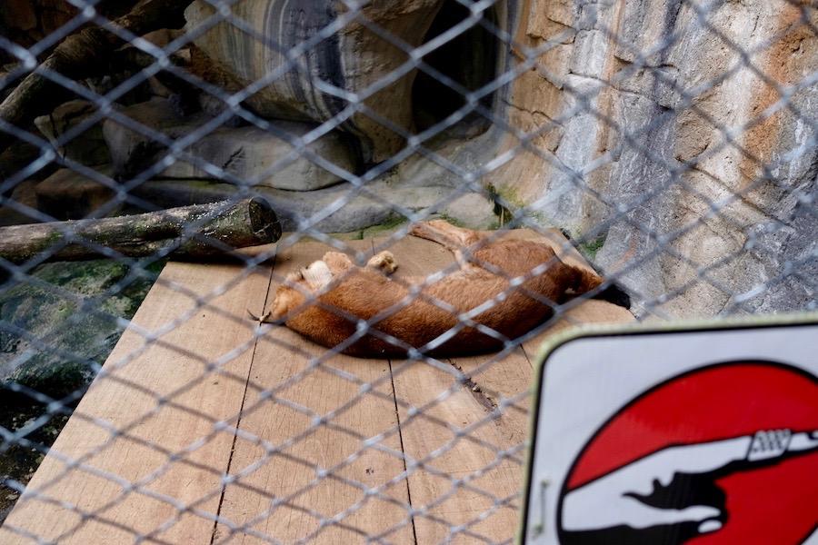heytheregrace.com | Batu Secret Zoo, Jatim Park 2, Malang - Fossa