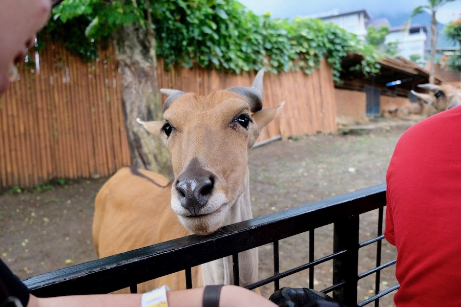 heytheregrace.com | Batu Secret Zoo, Jatim Park 2, Malang | Safari Farm | Common Eland