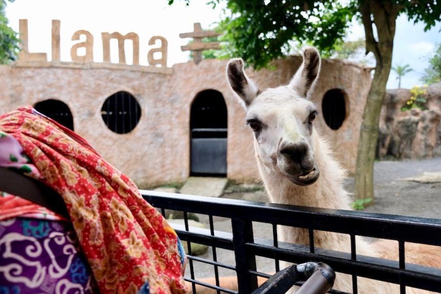 heytheregrace.com | Batu Secret Zoo, Jatim Park 2, Malang | Safari Farm | Llama