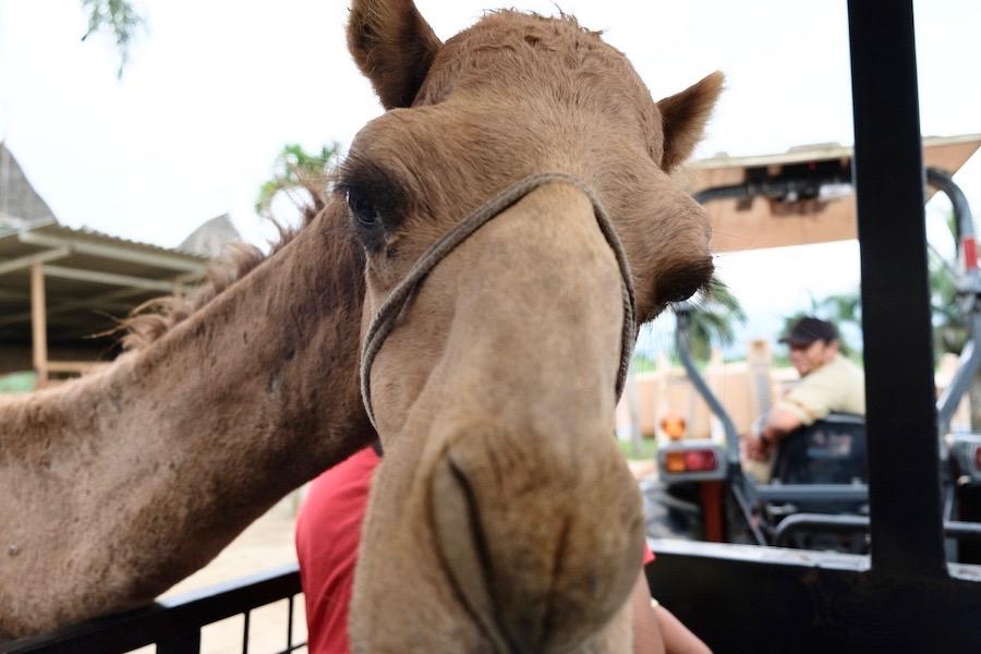 heytheregrace.com | Batu Secret Zoo, Jatim Park 2, Malang | Safari Farm | Unta