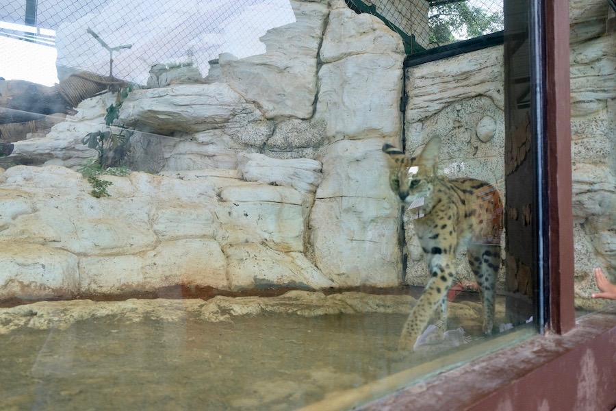 heytheregrace.com | Batu Secret Zoo, Jatim Park 2, Malang | Feral Cat