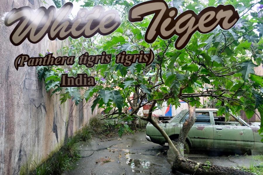 heytheregrace.com | Batu Secret Zoo, Jatim Park 2, Malang | White Tiger