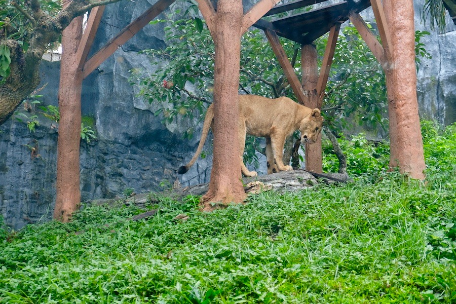 heytheregrace.com | Batu Secret Zoo, Jatim Park 2, Malang | Tiger Land
