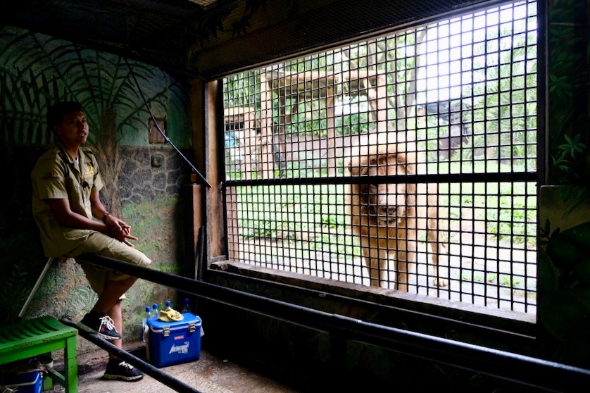 heytheregrace.com | Batu Secret Zoo, Jatim Park 2, Malang | Feeding Lion