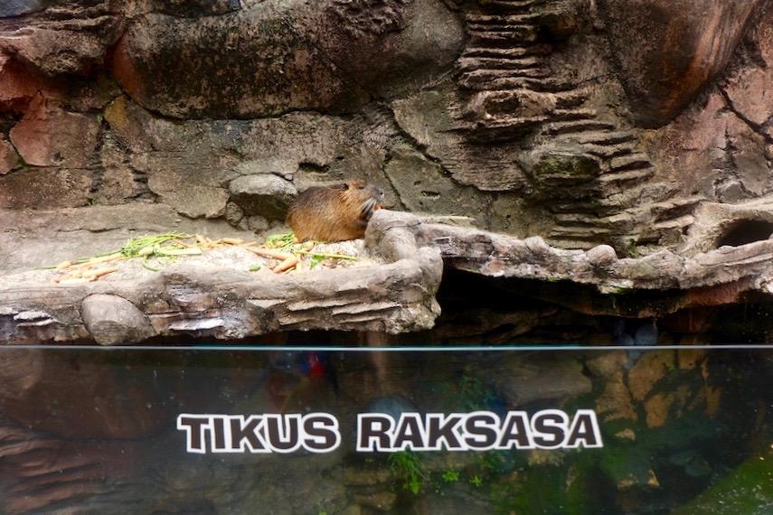 heytheregrace.com | Batu Secret Zoo, Jatim Park 2, Malang - Tikus Raksasa