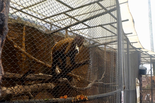 heytheregrace.com | Batu Secret Zoo, Jatim Park 2, Malang - Brown Tufted Capuchin