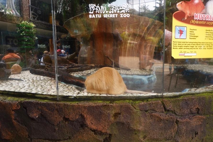 heytheregrace.com | Batu Secret Zoo, Jatim Park 2, Malang - Nutria / Myocastor Coypus