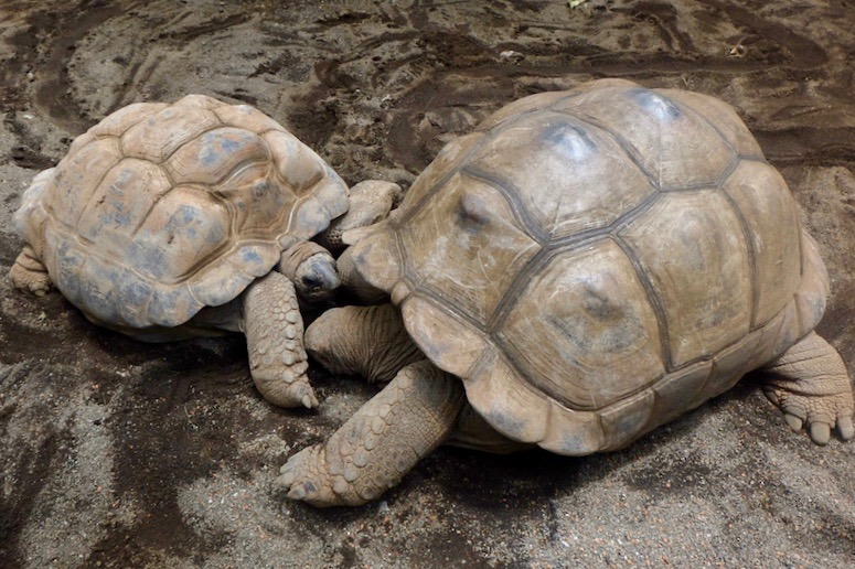 heytheregrace.com | Batu Secret Zoo, Jatim Park 2, Malang - Kura-kura Raksasa Aldabra