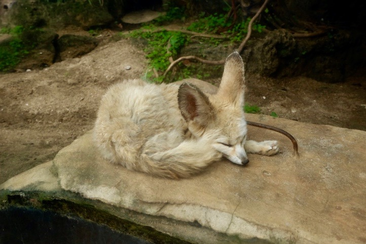 heytheregrace.com | Batu Secret Zoo, Jatim Park 2, Malang - Bat-Eared Fox