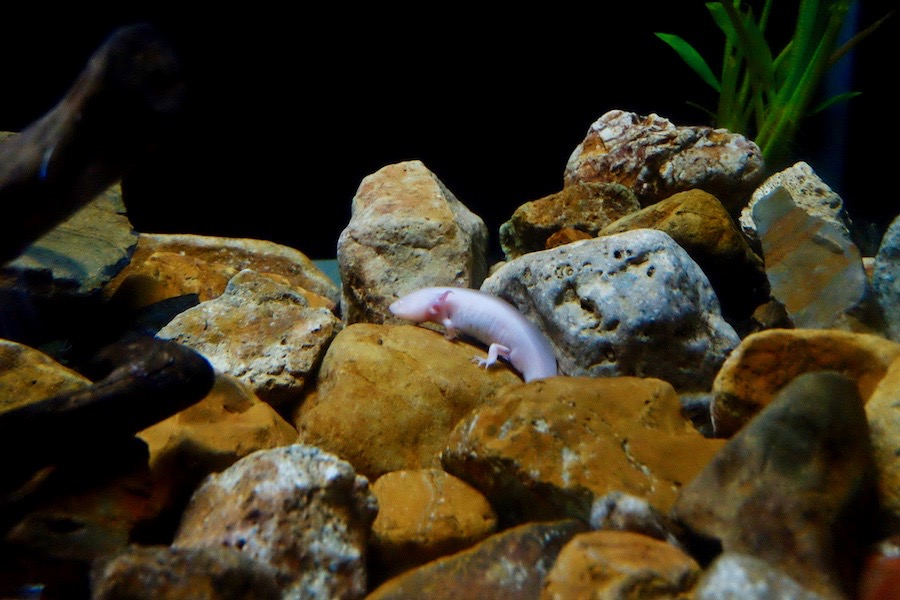 heytheregrace.com | Batu Secret Zoo, Jatim Park 2, Malang - Pink Salamander