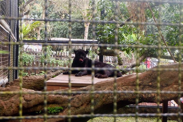 heytheregrace.com | Batu Secret Zoo, Jatim Park 2, Malang - Black Panther